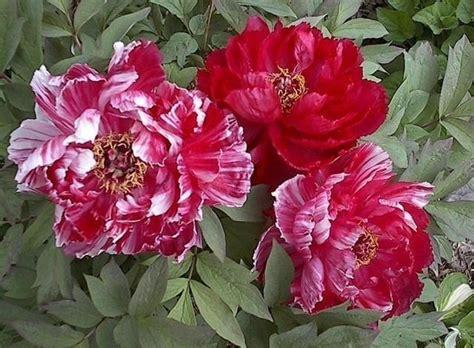 fiore di peonia fiore peonia peonie fiore peonia giardino