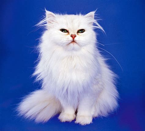 cat and breed types of house cats breeds breeds picture