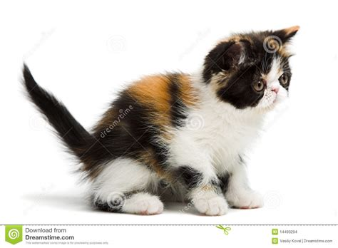 Tortoiseshell Persian Cat Stock Images   Image: 14493294