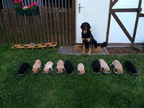 alt deutsche hutte hond hovawart partner hund magazin