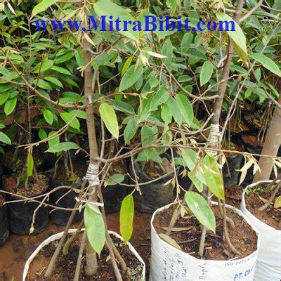 Bibit Durian Bawor Jawa Timur durian jawa tengah images