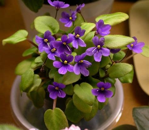 Bunga Artfcl Mini Violet captain cook mini violets violet wishes in memory of read more and