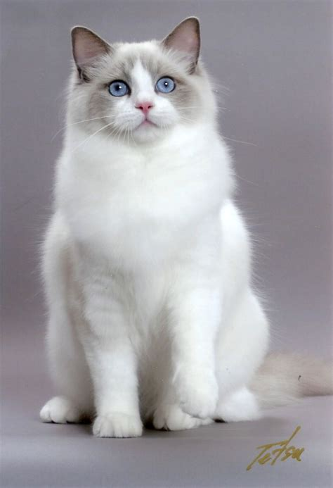 breeds with blue 1000 images about ragdoll cats on flies away cats and kittens