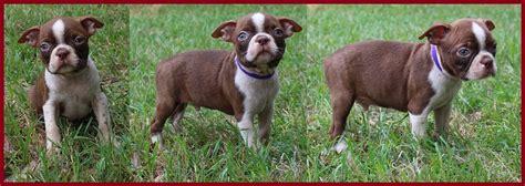 boston terrier puppies for sale in alabama boston terrier for sale huntsville al photo