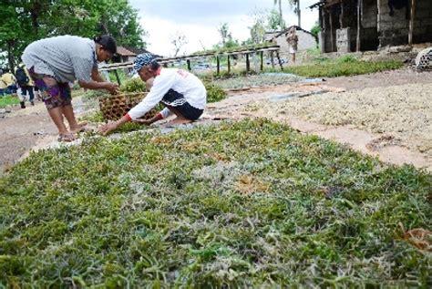 Rumput Laut Kering 500 Gr indonews produksi rumput laut ntt capai 630 000 ton