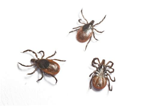 deer tick on blacklegged deer ticks removal of deer ticks