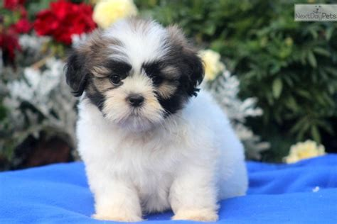 names for shih tzu males meet jasper a shih tzu puppy for sale for 595 jasper shih tzu