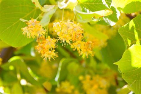 tiglio fiori significato dei fiori il tiglio pollicegreen