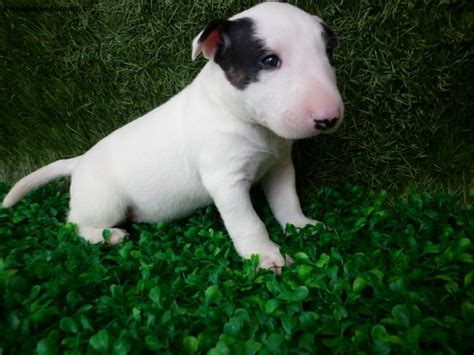 bull terrier miniature bull terrier pictures information