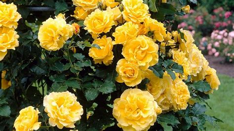 information about rose farming of yellow roses interesting facts gardening tips