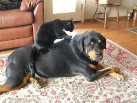 rottweiler and cats world s bravest cat rottweiler and cat