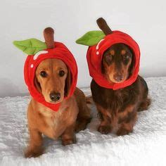 apples and dogs 1000 images about best pet costumes on pet costumes costumes and pet