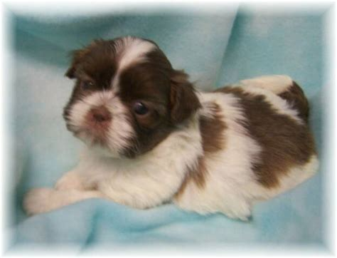 chocolate and white shih tzu resources