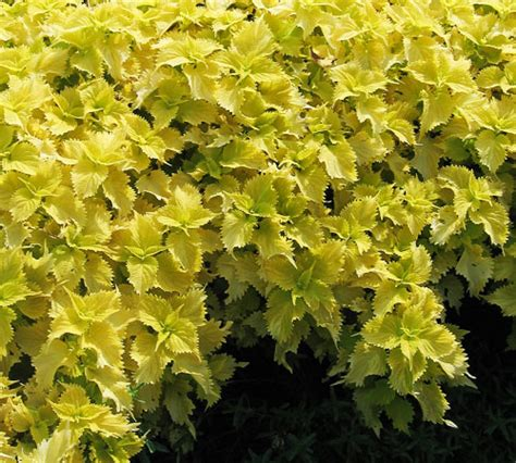 this is the coleus page of our a to z guide to plants how to care for them landscaping with