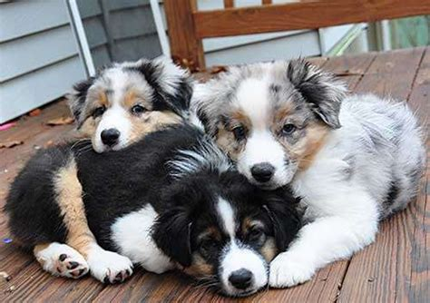 australian shepherd puppies for adoption australian shepherd puppies for sale adoption from johor pengerang adpost