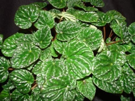 Houseplants emerald ripple peperomia plants for my alabama home