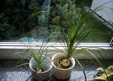 Indoor Plants elefantenfu 223 ponytail palm bottle palm willkommen