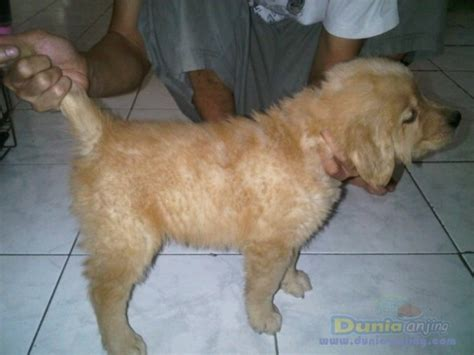 golden retriever for sell dunia anjing jual anjing golden retriever for sell 7 puppy golden retriever