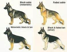 german shepherd color chart 1000 images about german shepherd on german