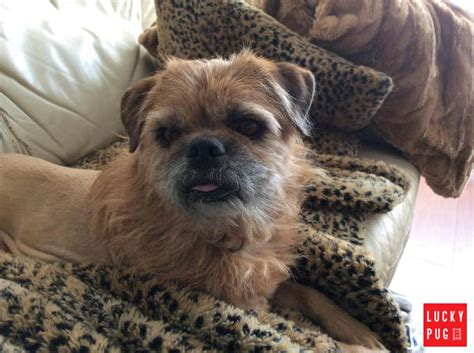 what were pugs bred for lions brug hybrid breed information pictures pug x brussels griffon