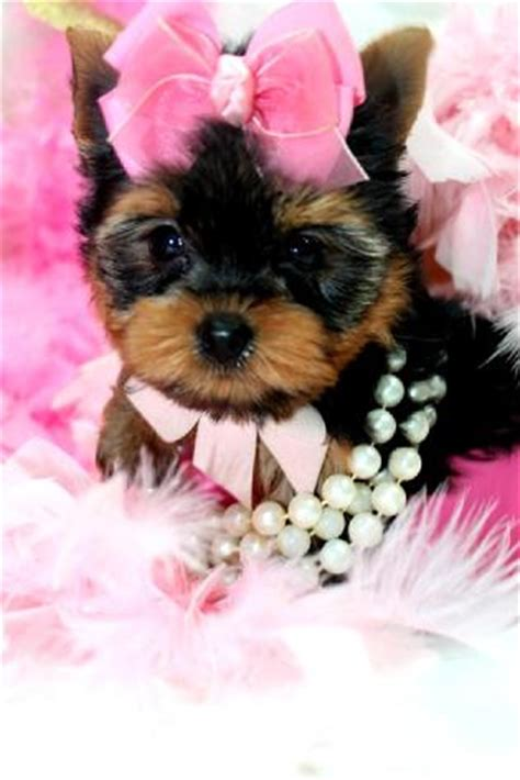 teacup yorkie breeders in sc teacup yorkie teacup yorkies yorkies for sale micro teacup puppies yorkiebabies