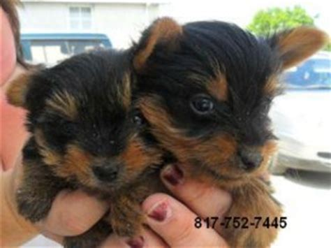 yorkie puppies for sale in salisbury md dogs maryland free classified ads