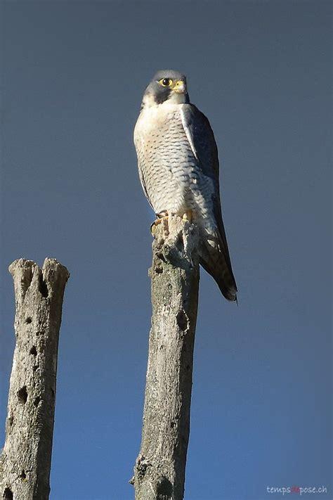 le faucon dnich pleine les 25 meilleures id 233 es concernant le faucon p 232 lerin sur rapaces oiseaux de proie