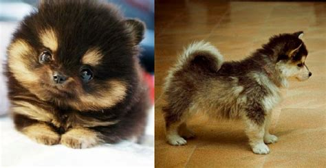 pomeranian husky mix pictures pomsky pomeranian husky mix because who doesn t need more cuteness in their