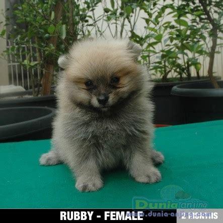 Harga Pom Pom by Dunia Anjing Jual Anjing Pomeranian 2 Mini Pom Harga