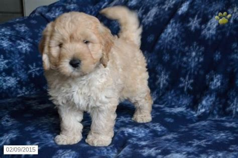 mini doodle puppies ohio 17 best ideas about goldendoodles for sale on