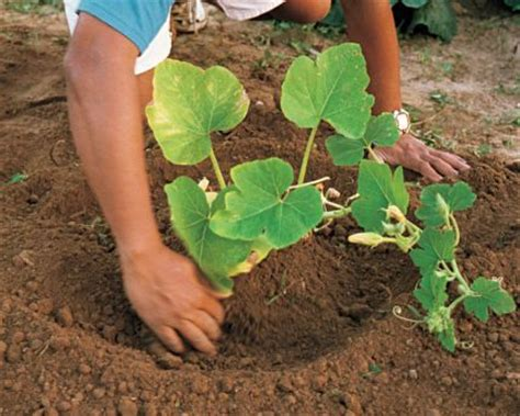 soil blocker recipes   growing pumpkins Best article I