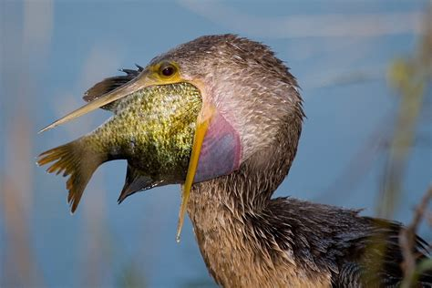 bird eats fish funny pictures of animals