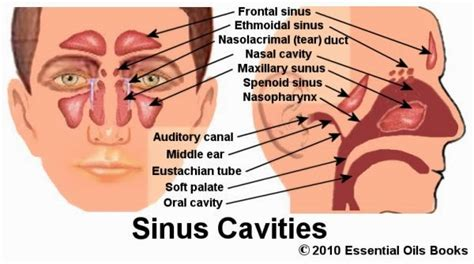 sinus diagram back of related keywords suggestions for sinus cavities