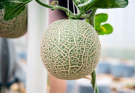 coltivare meloni in vaso orto sul balcone come coltivare il melone in terrazzo