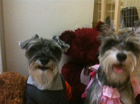 dogs for sale in los angeles miniature schnauzer puppies for sale los angeles ca