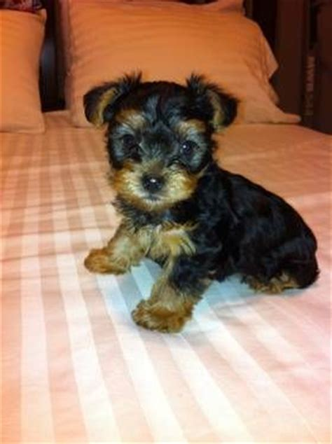 10 week yorkie puppies 17 best images about puppies for sale on yorkie and beans