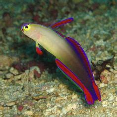 Lavender Neon Neon Aceh Putih small neon saltwater fish ideas for or colourful small reefsafe fish ultimatereef