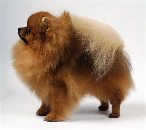 pomeranian puppies for sale in chennai pomeranian puppies for sale moses 1 11850 dogs for sale price of puppies