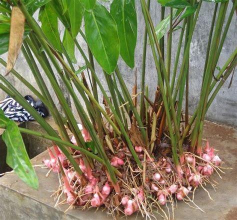 menanam lengkuas  cepat  rumah tanaman hias