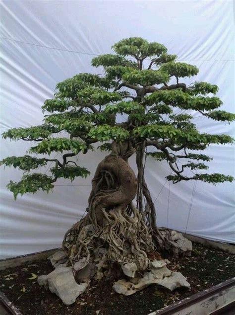 ficus bonsai  root unknown credit bonsai garden