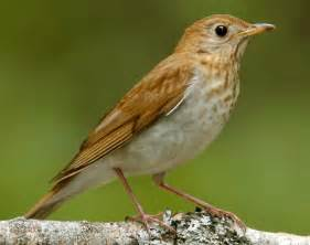 Veery songs and calls larkwire