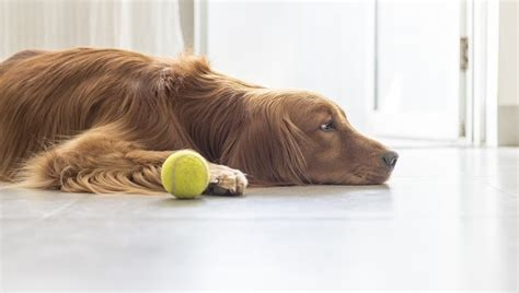 pepcid dogs famotidine for dogs uses dosage and side effects dogtime