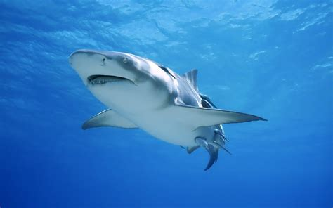 imagenes sorprendentes tiburones un tibur 243 n hd 1920x1200 imagenes wallpapers gratis