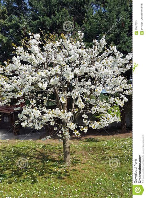 boom witte bloemen stock afbeelding afbeelding