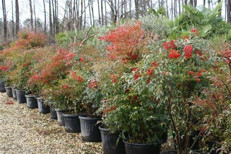 nandina domestica in vaso nandina domestica piante da giardino nandina domestica