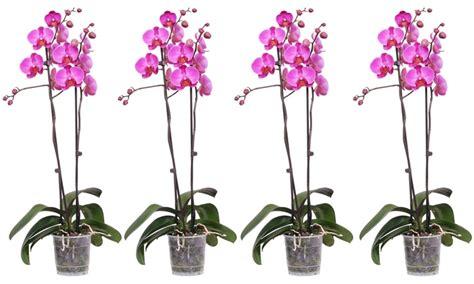 manutenzione orchidee in vaso orchidea in vaso consegna san valentino groupon goods