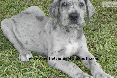 blue merle great dane puppies merle great dane puppies with blue www imgkid the image kid has it
