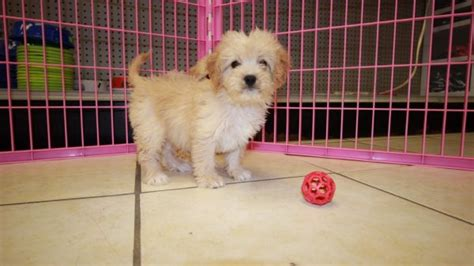 mini doodle atlanta pretty miniature goldendoodle puppies for sale in ga