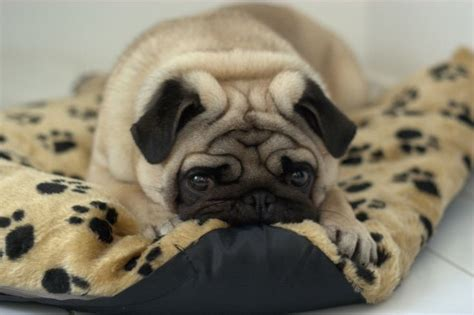 bed pugs pug bed love pugs pinterest