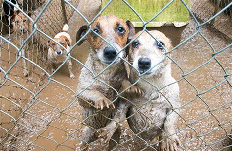 is puppy spot a puppy mill puppy mills great again consortiumnews